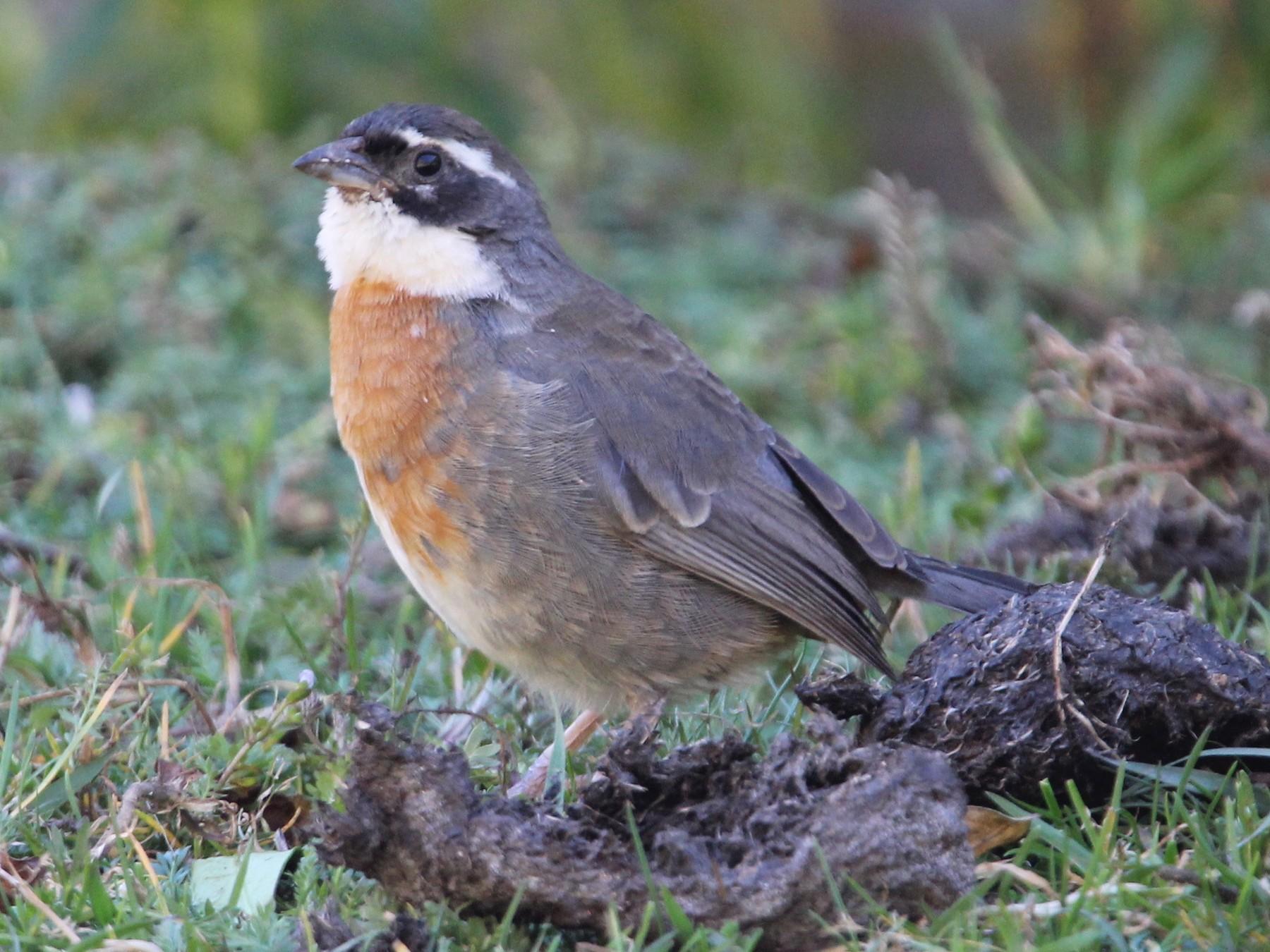 Chestnut-breasted Mountain-Finch - Robert Gowan