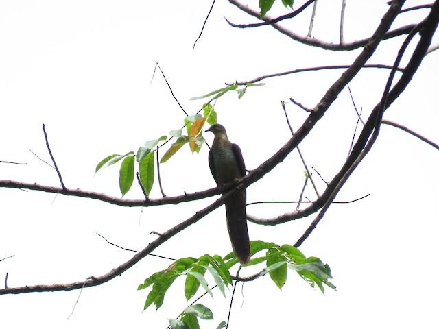 Sultan's Cuckoo-Dove (Sulawesi)