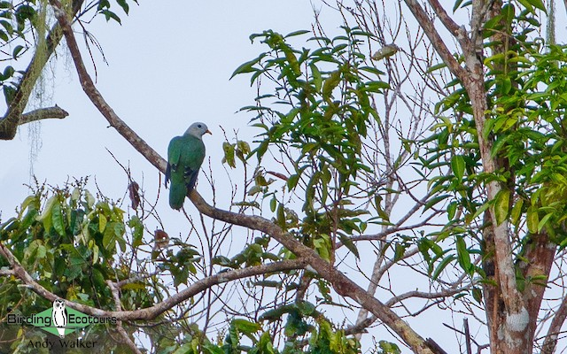Banggai Fruit-Dove