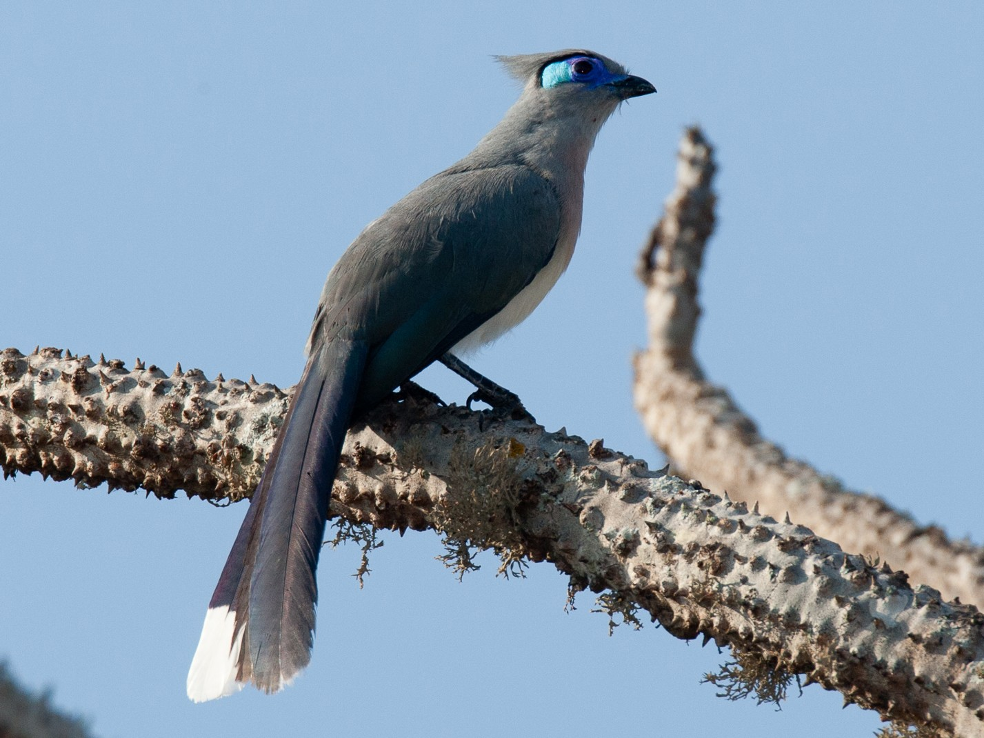 Crested Coua - Robert Lewis
