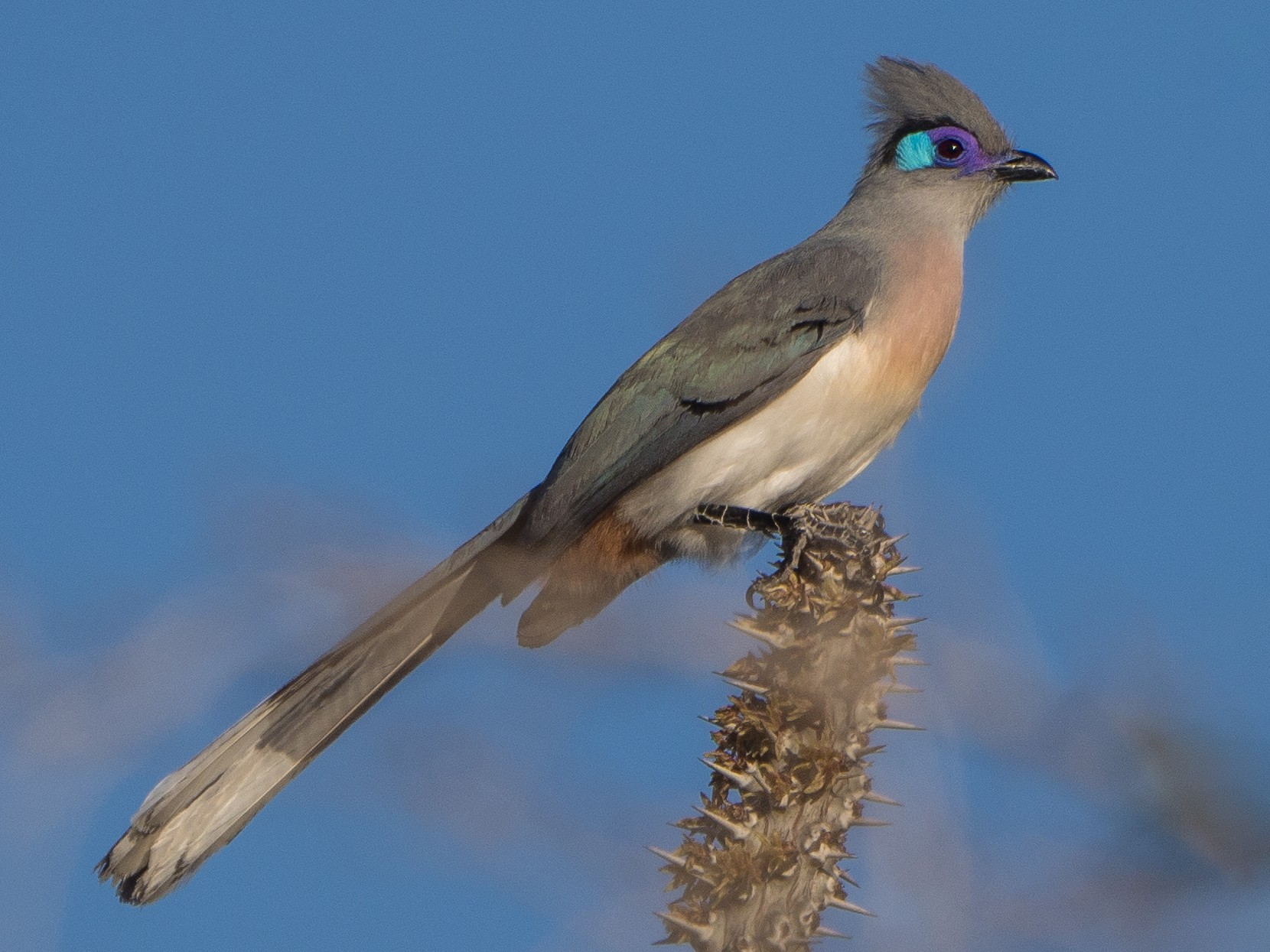 Crested Coua - James Moore