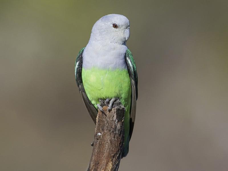Gray-headed Lovebird - Zak Pohlen
