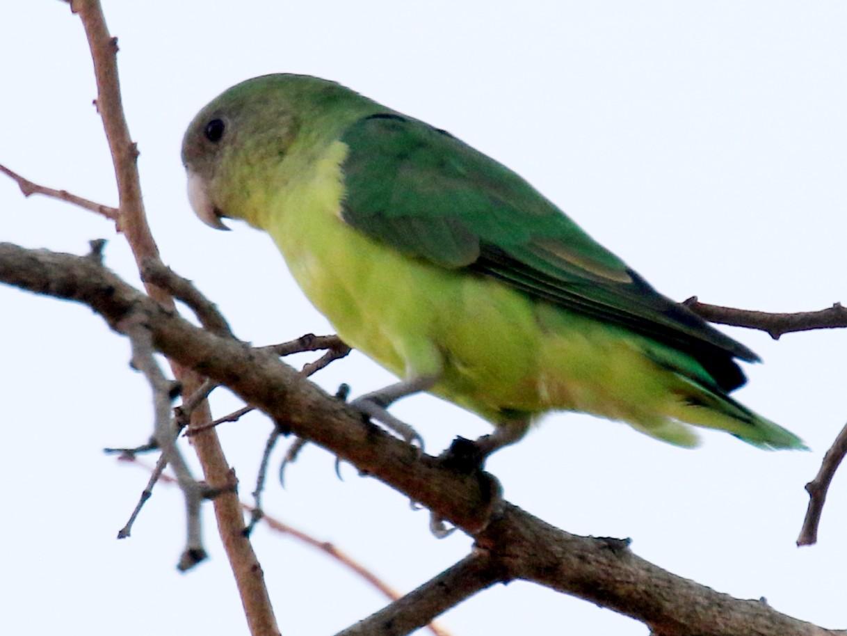 Gray-headed Lovebird - Stephen Gast