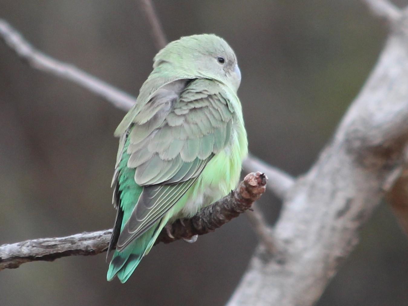 Gray-headed Lovebird - Manuel Schwarz