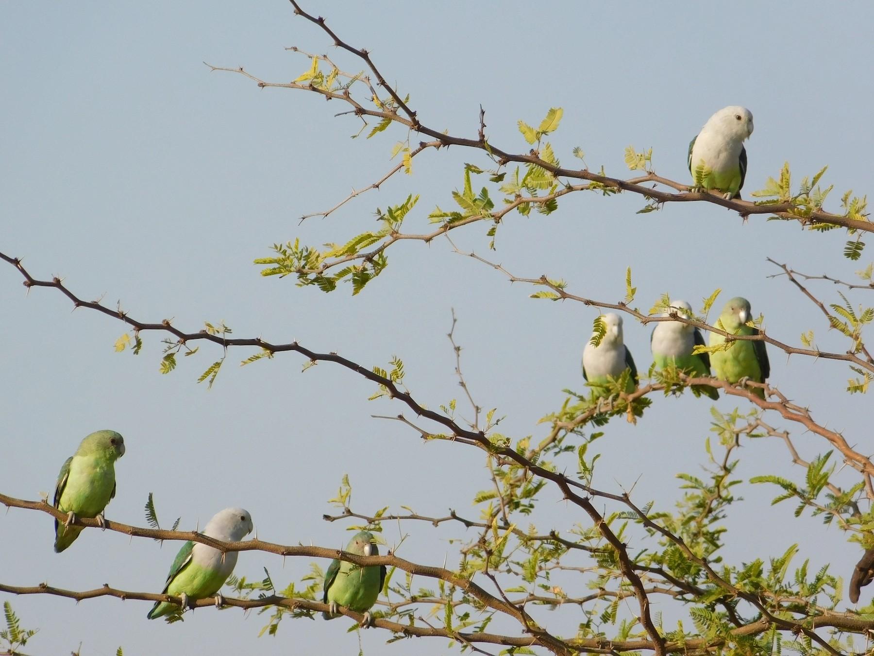 Gray-headed Lovebird - James Lee