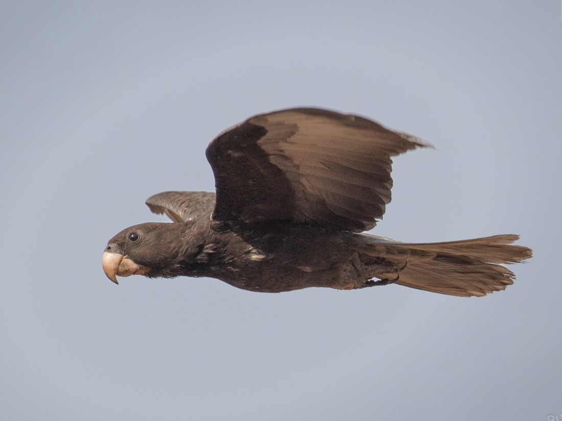 Greater Vasa Parrot - Skip Russell