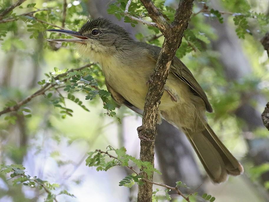 Long-billed Bernieria - Charley Hesse TROPICAL BIRDING