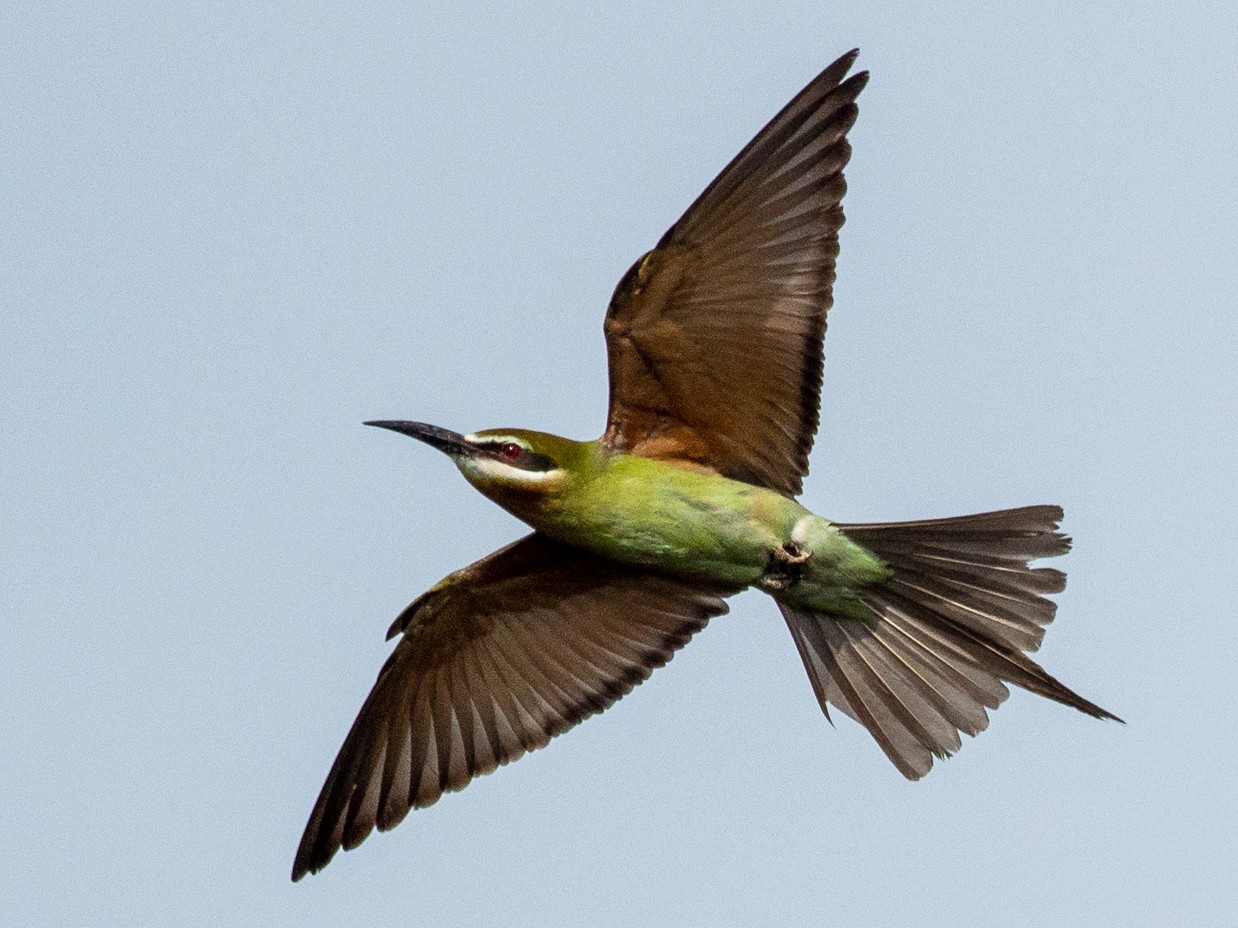 Madagascar Bee-eater - Forest Jarvis