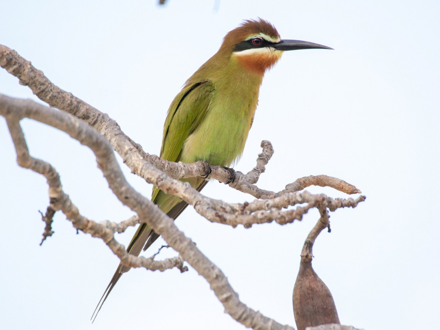 Madagascar Bee-eater - Jean-Sébastien Guénette