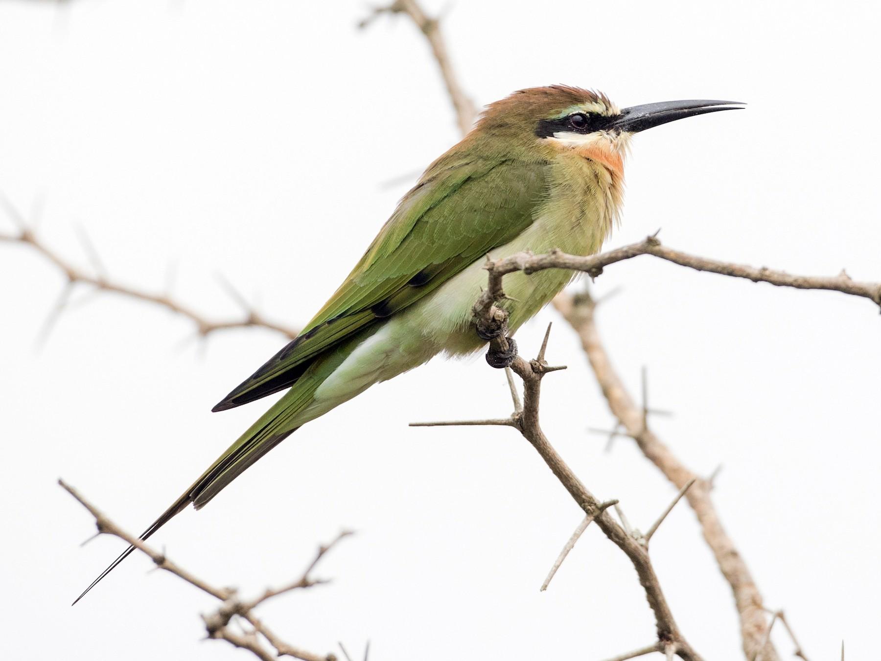 Madagascar Bee-eater - Ian Davies