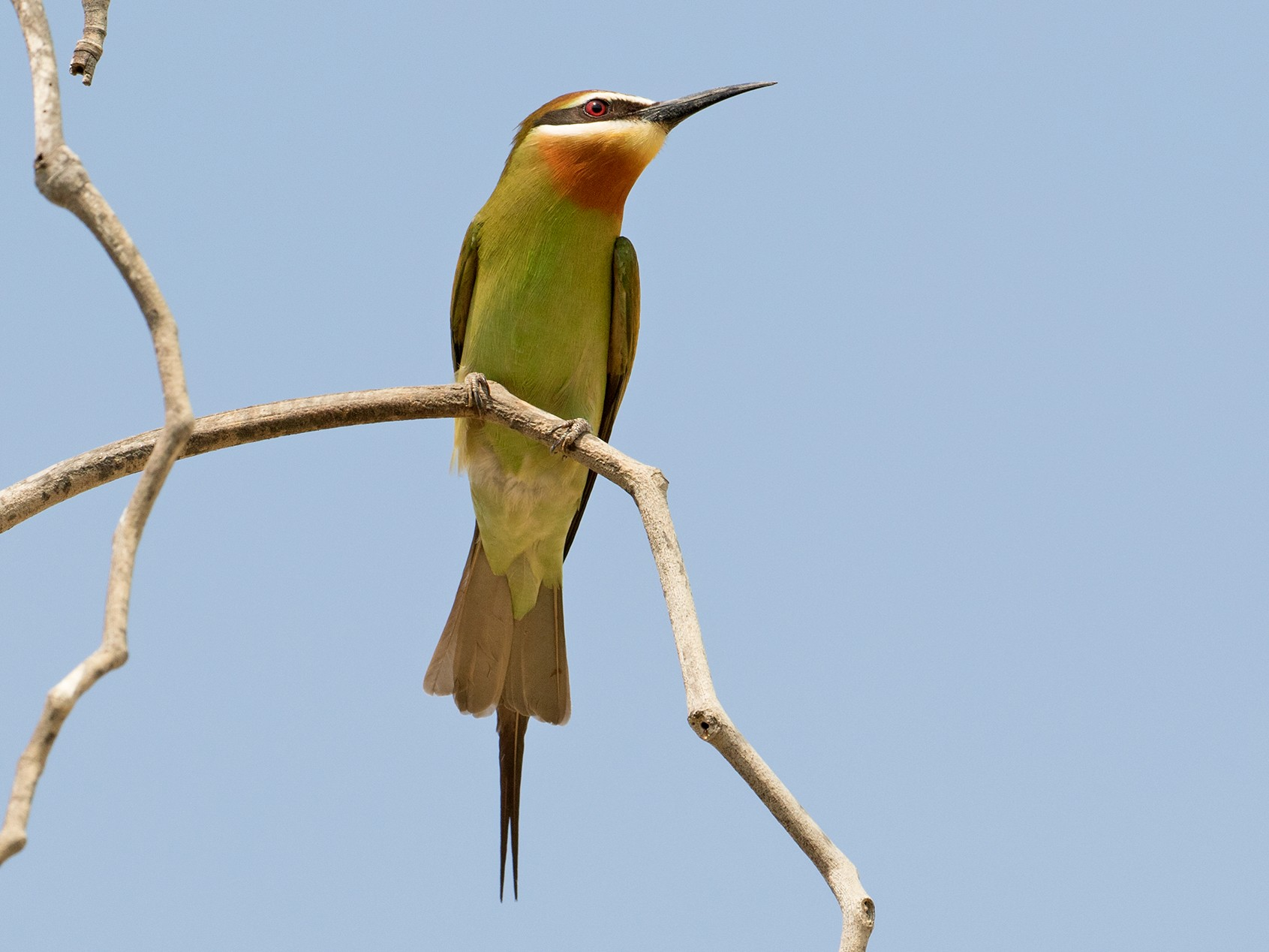 Madagascar Bee-eater - Sam Woods