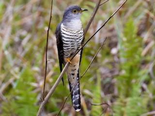 - Madagascar Cuckoo