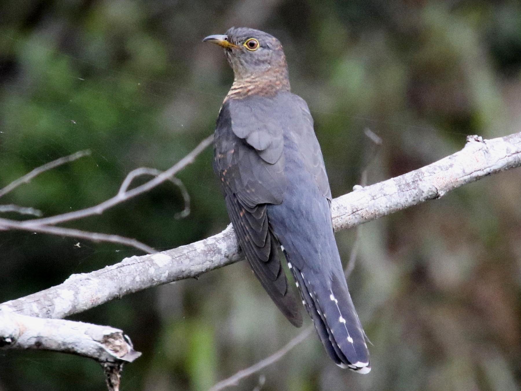 Madagascar Cuckoo - Stephen Gast