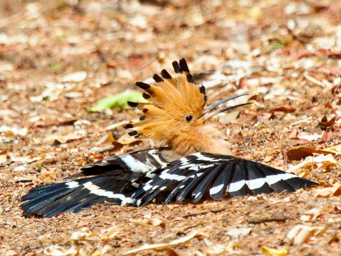 Madagascar Hoopoe - Sue Wright