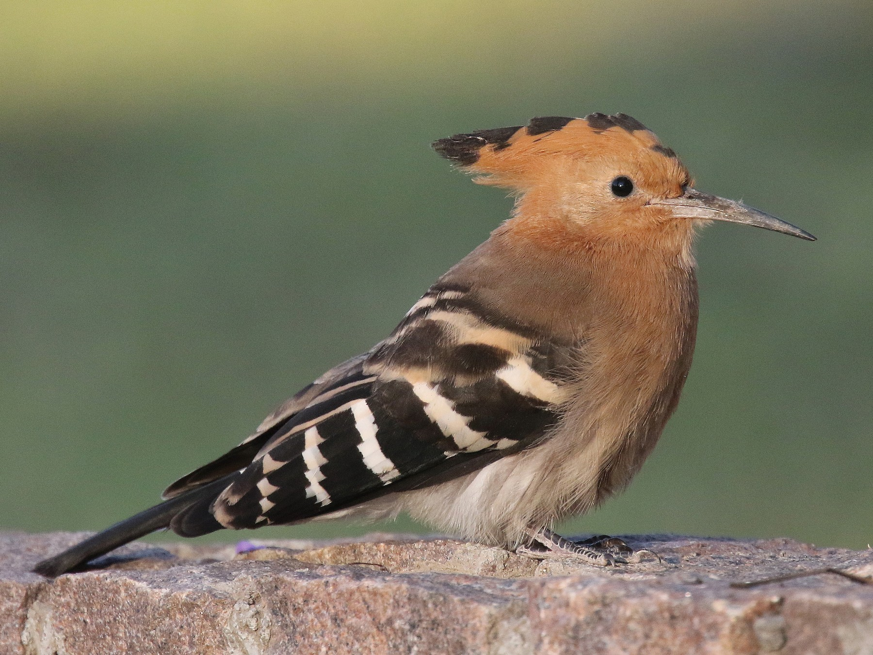 Madagascar Hoopoe - Stephen Gast