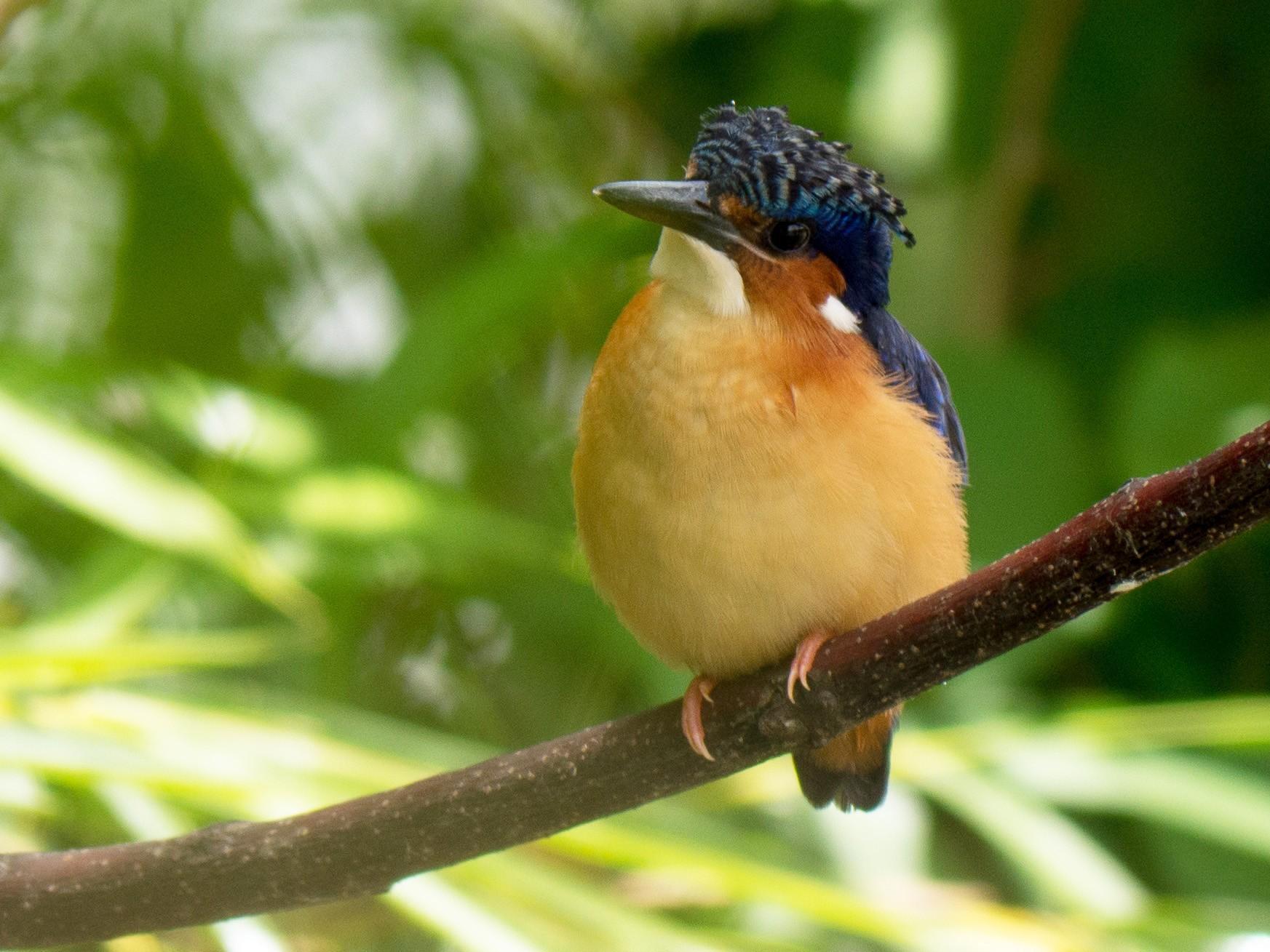 Malagasy Kingfisher - Randall Siebert