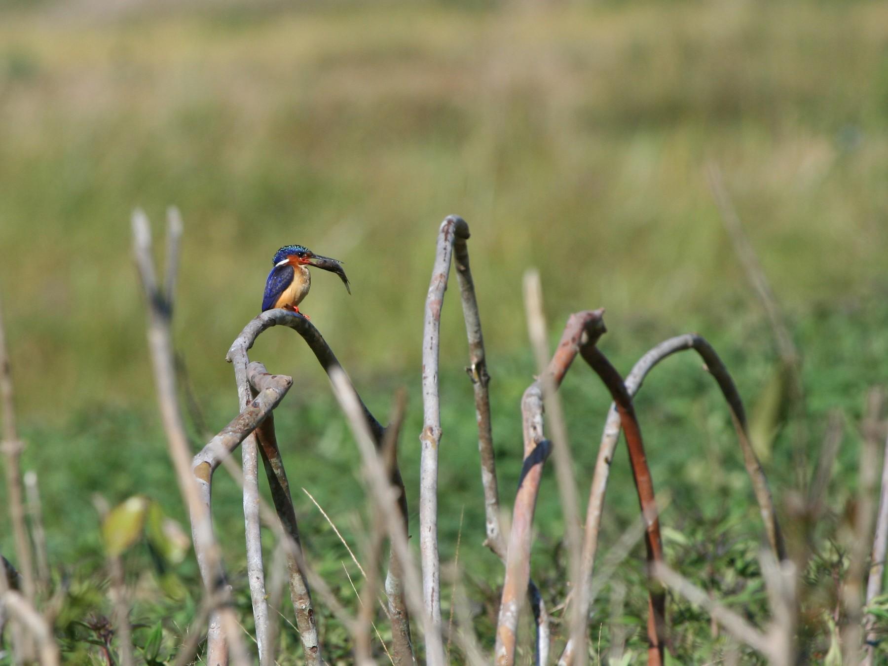 Malagasy Kingfisher - Pam Rasmussen