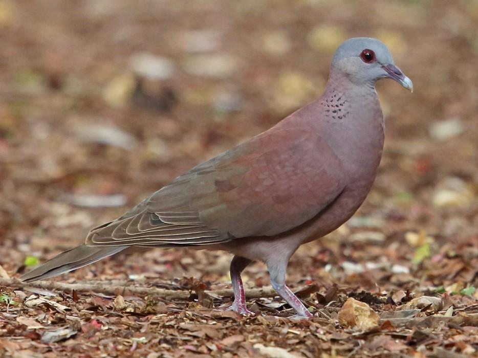 Madagascar Turtle-Dove - Nigel Voaden