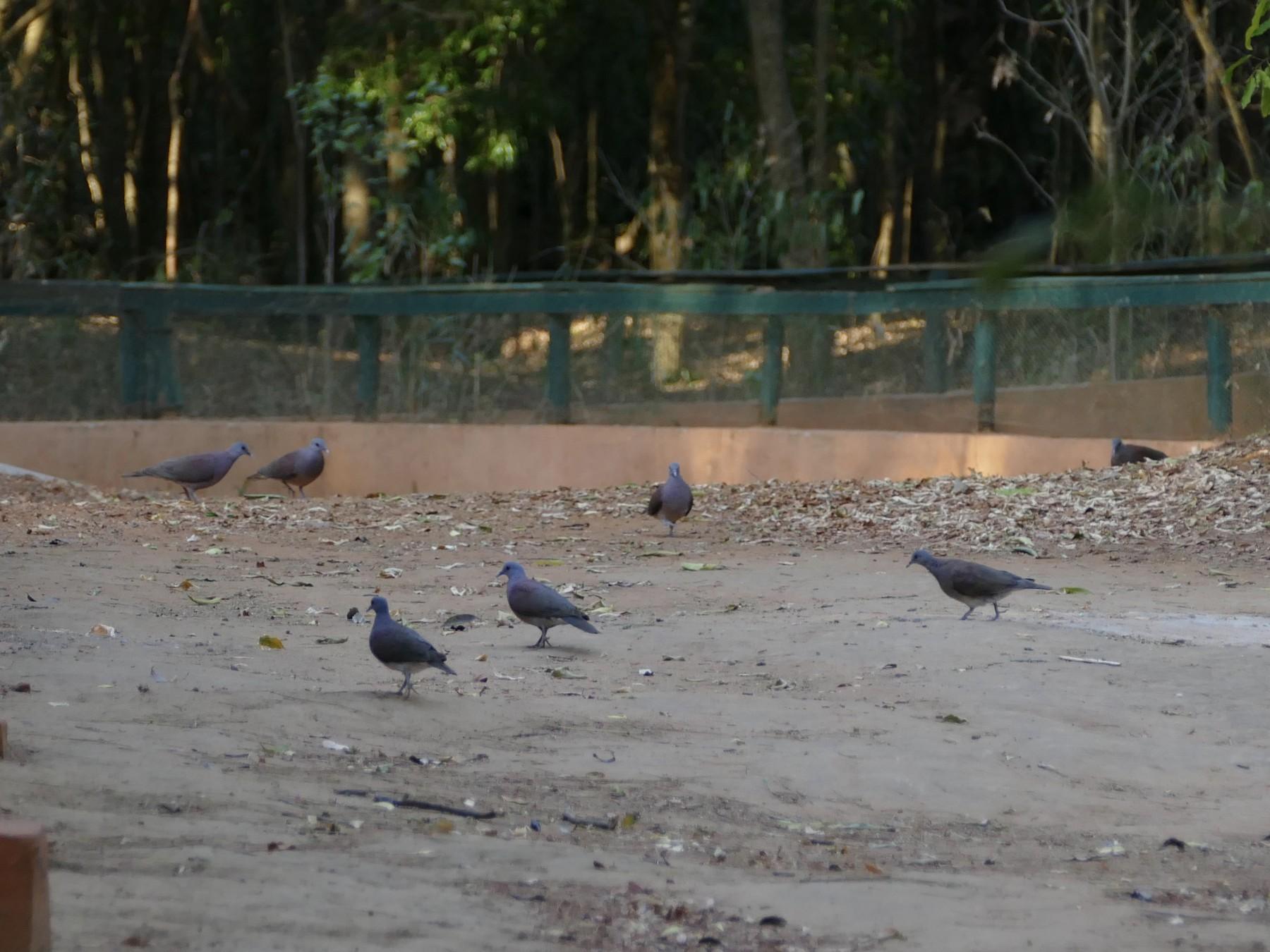Madagascar Turtle-Dove - Peter Kaestner