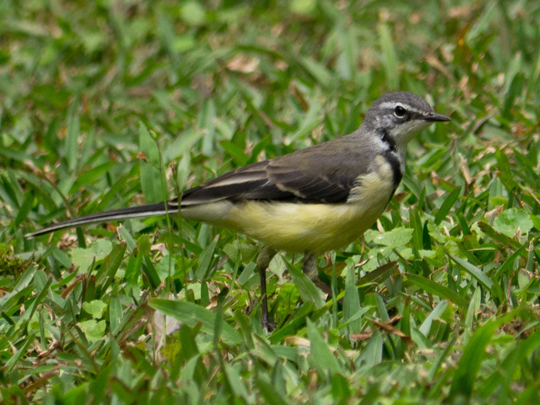 Madagascar Wagtail - Andrew Wilson