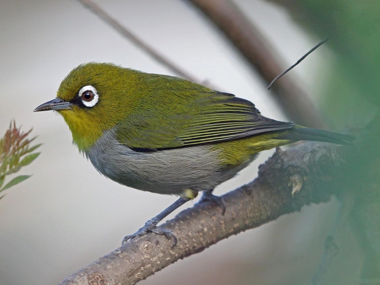 Madagascar White-eye - Nigel Voaden