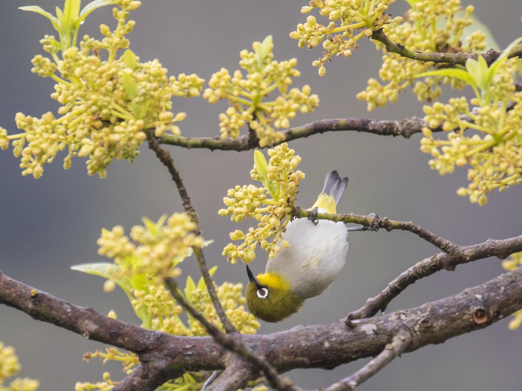 Madagascar White-eye - Simon Lane
