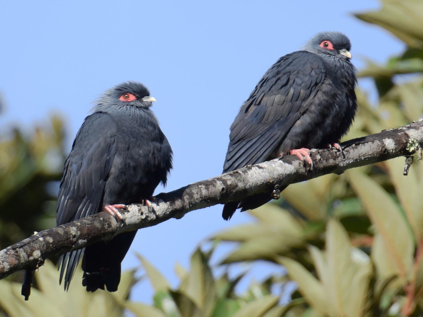 Madagascar Blue-Pigeon - Giuseppe Citino