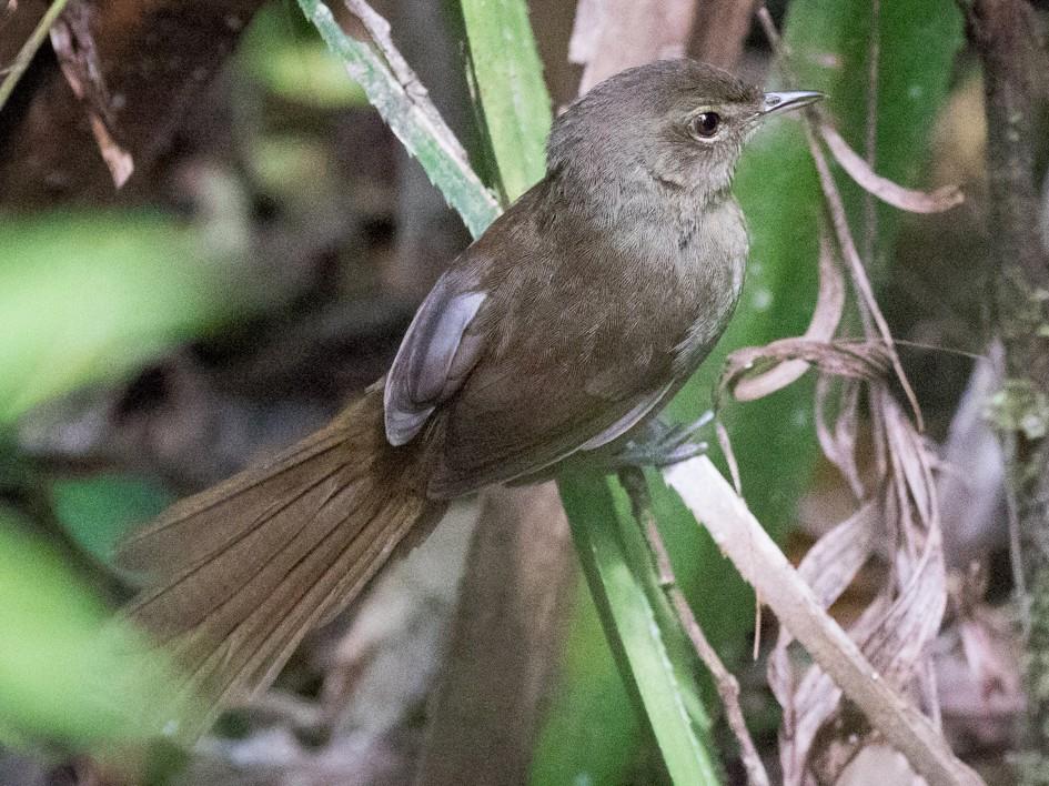 Madagascar Brush-Warbler - Skip Russell