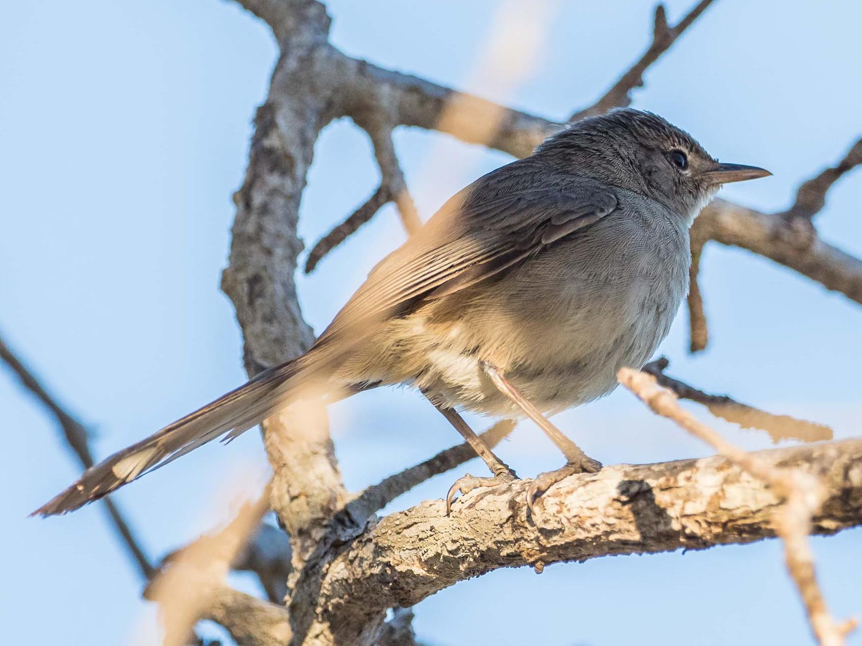 Madagascar Brush-Warbler - Antero Topp