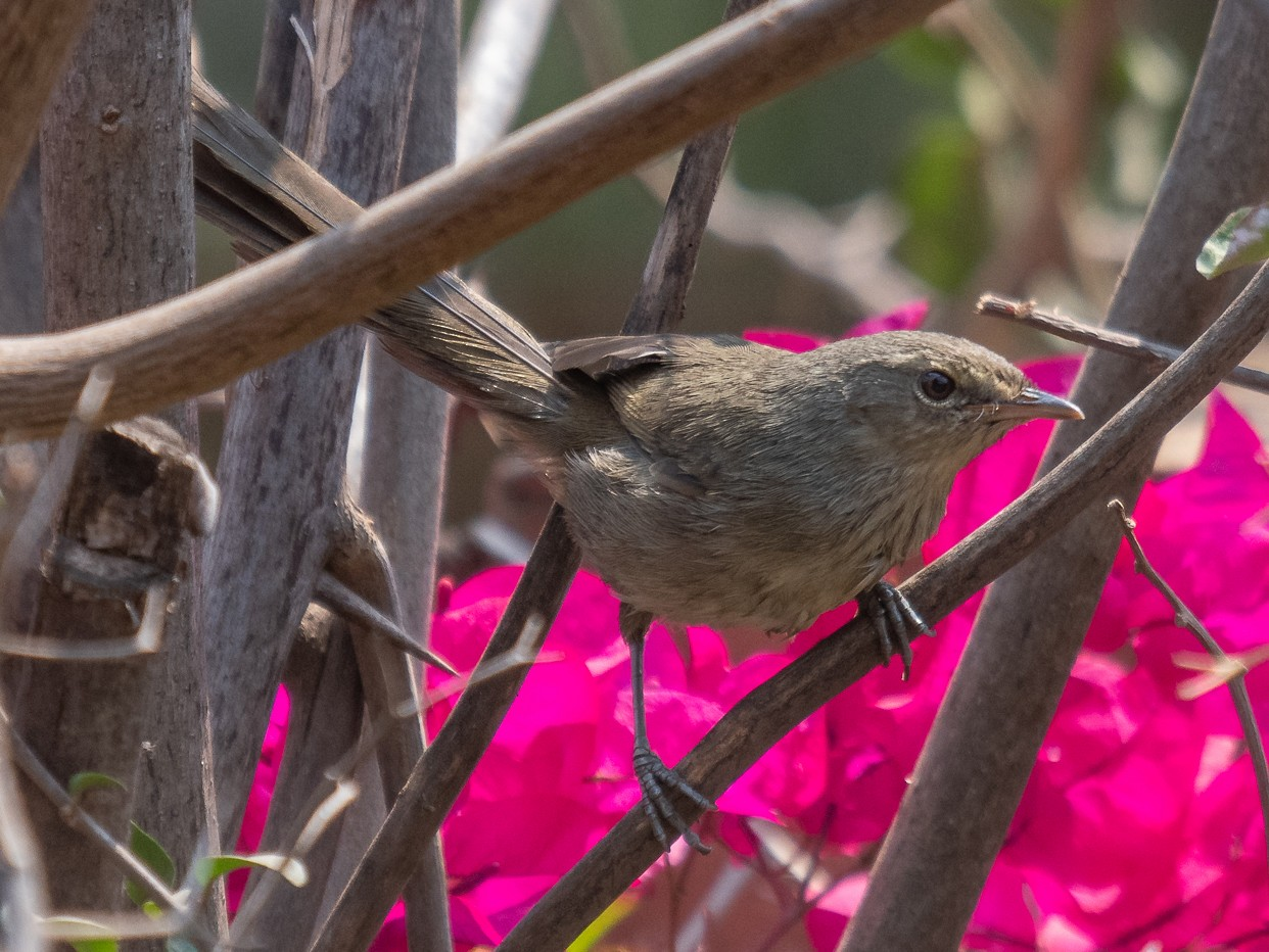 Madagascar Brush-Warbler - Rob Williams