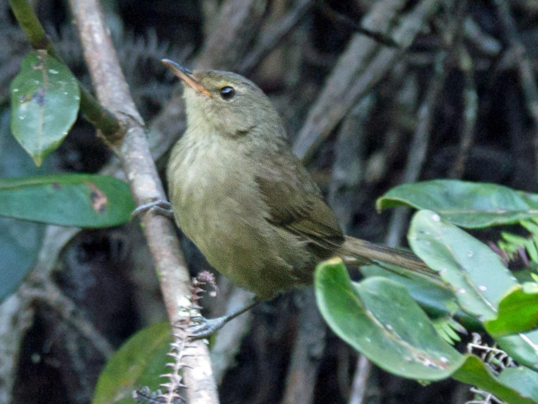 Madagascar Brush-Warbler - Andrew Wilson