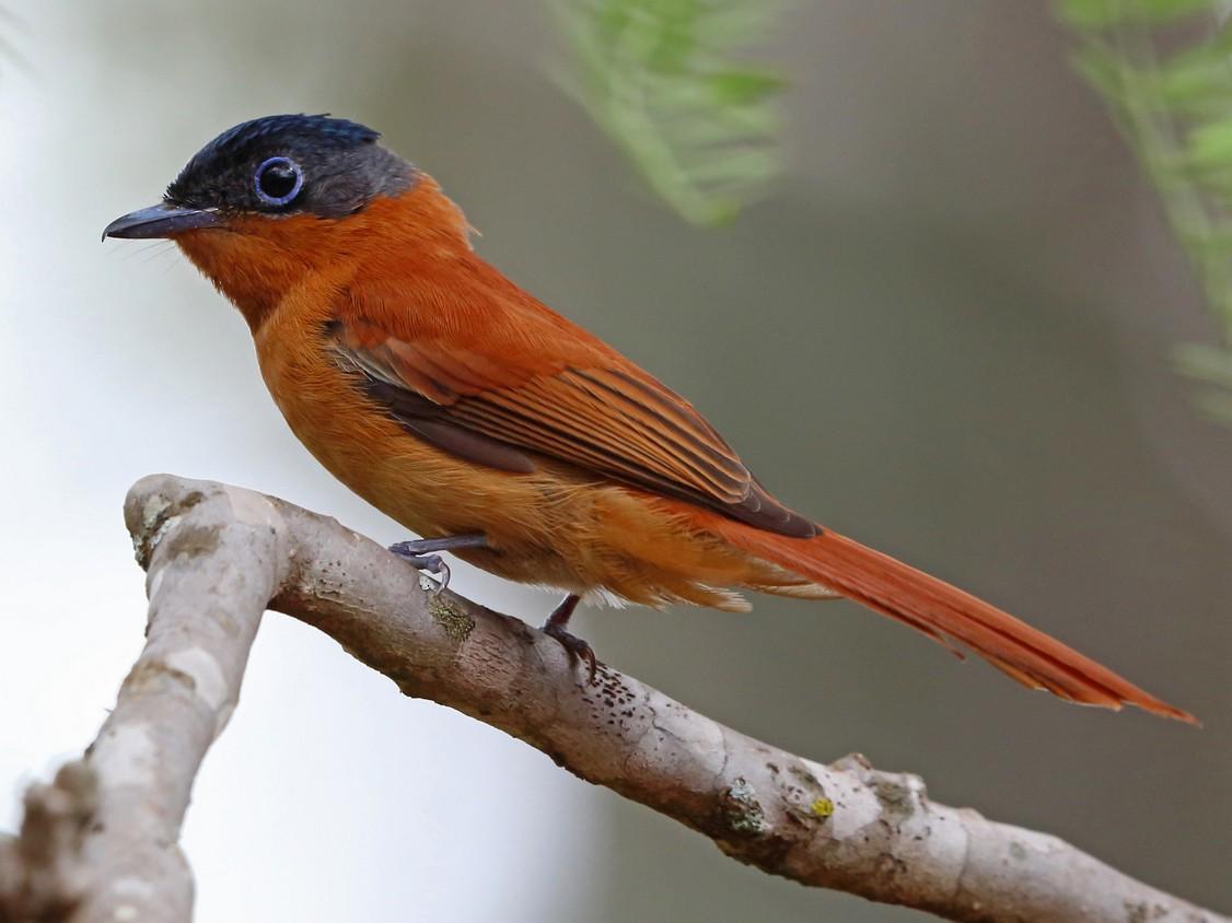 Madagascar Paradise-Flycatcher - Nigel Voaden