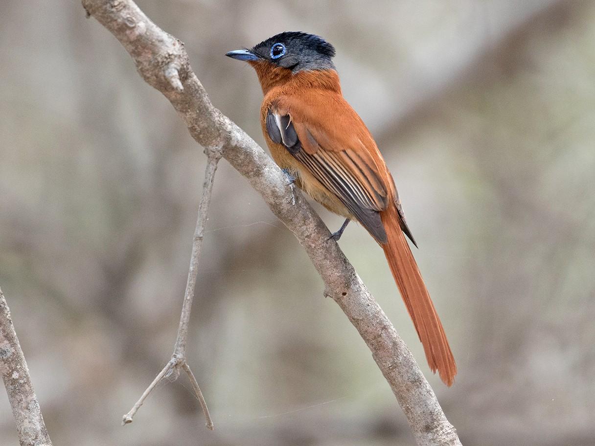 Madagascar Paradise-Flycatcher - Sam Woods