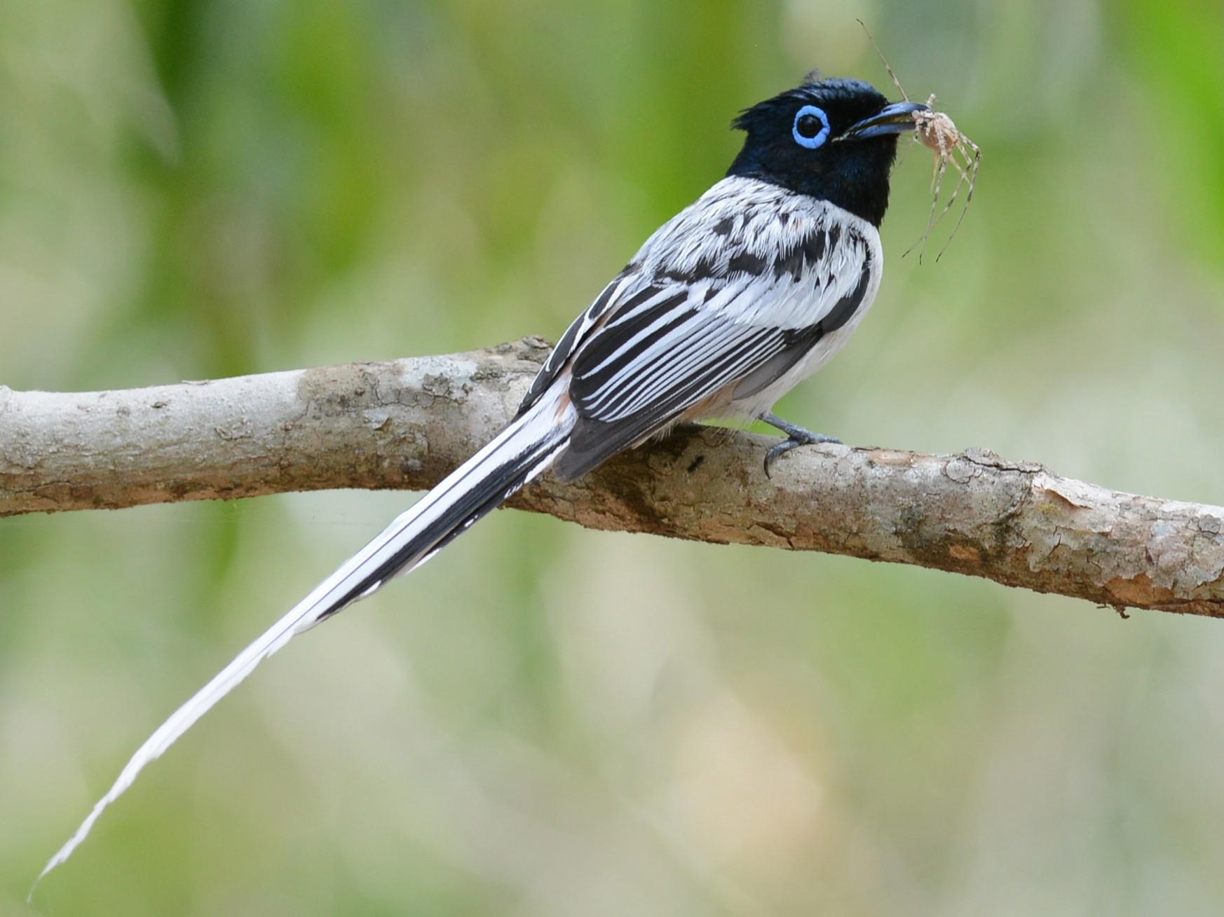Madagascar Paradise-Flycatcher - Alan Van Norman