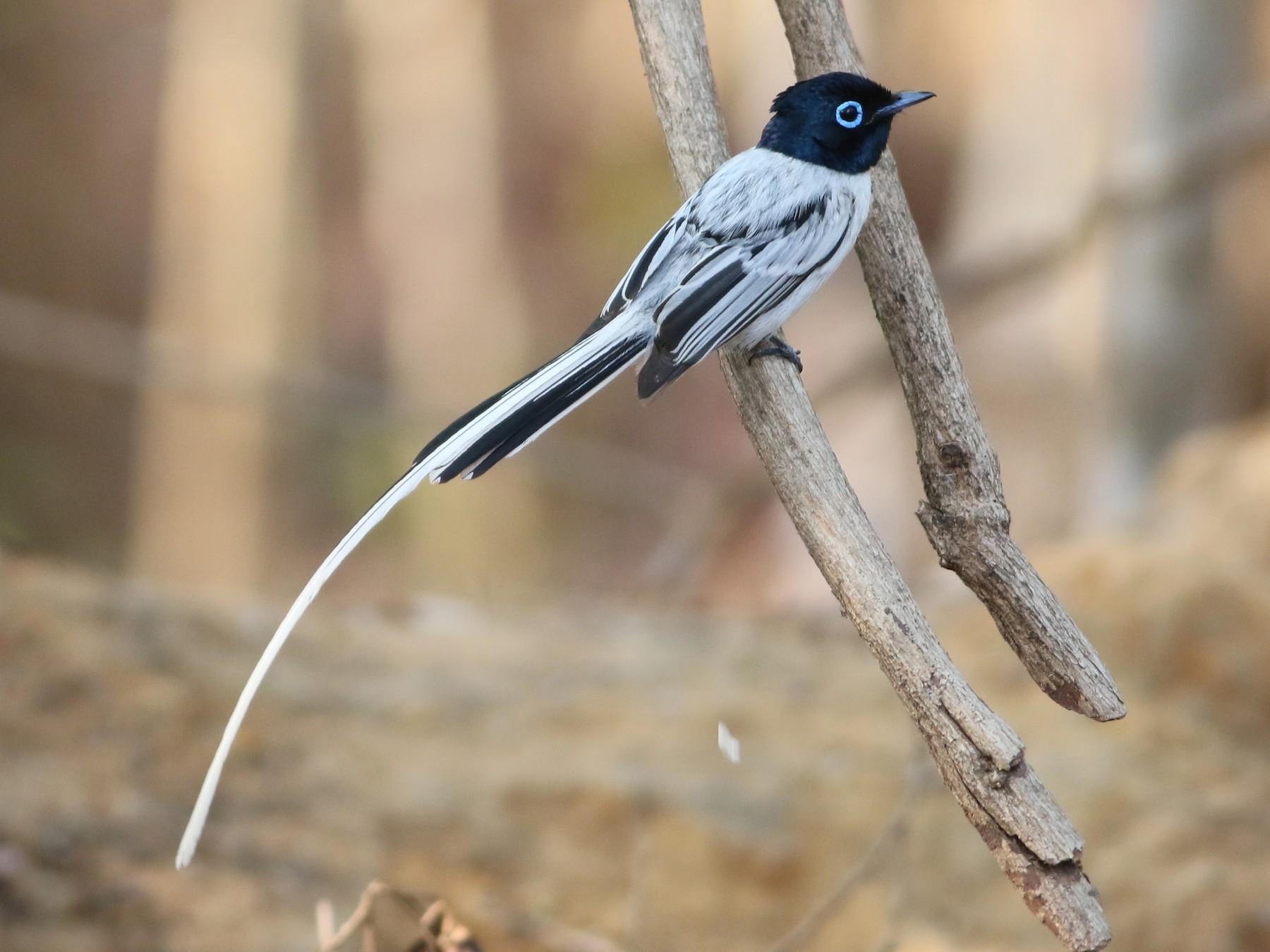 Madagascar Paradise-Flycatcher - Alen Lin