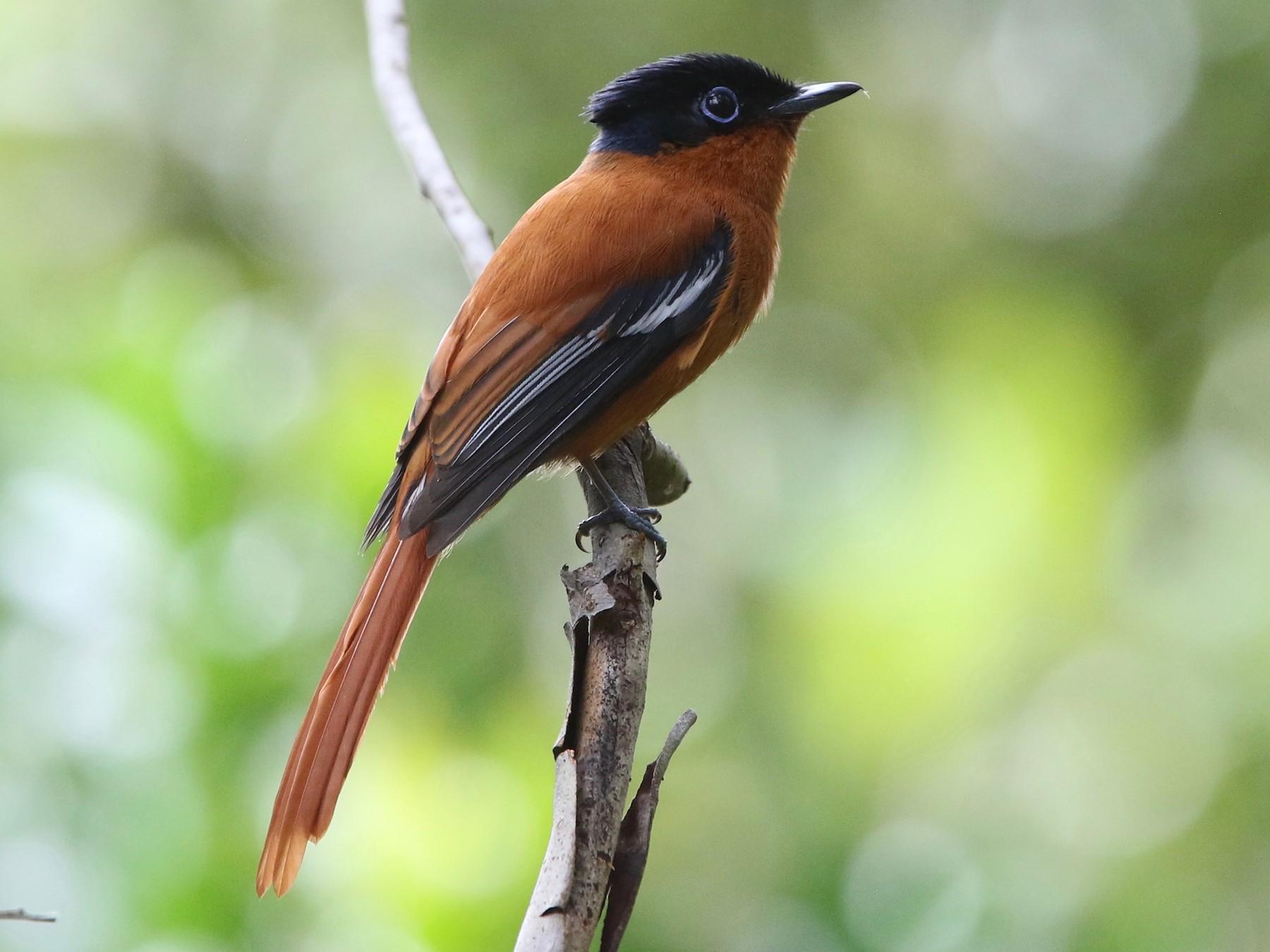 Madagascar Paradise-Flycatcher - Olivier Langrand