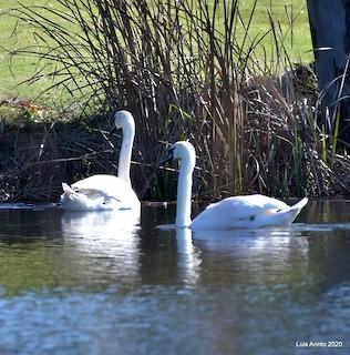 Mute Swan, ML211848711