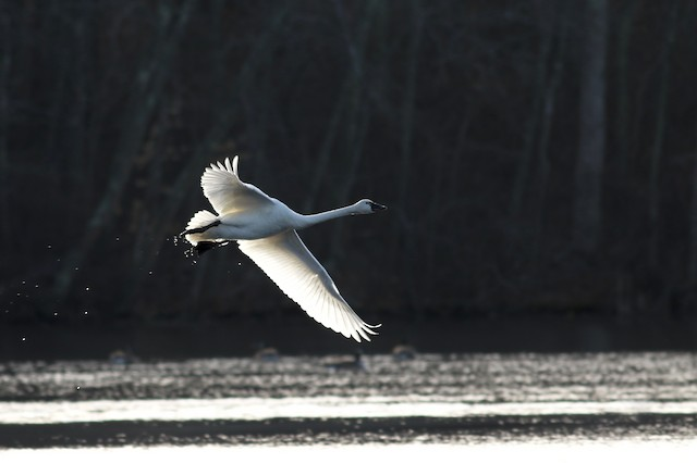 Tundra Swan (Whistling)