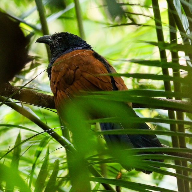Short-toed Coucal