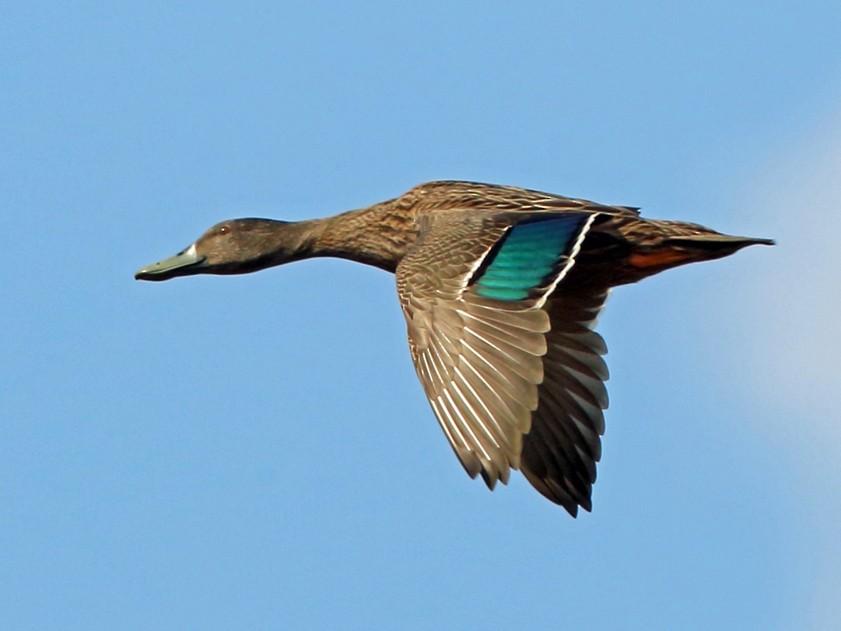 Meller's Duck - Nigel Voaden