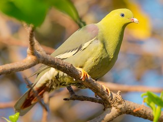 - Madagascar Green-Pigeon