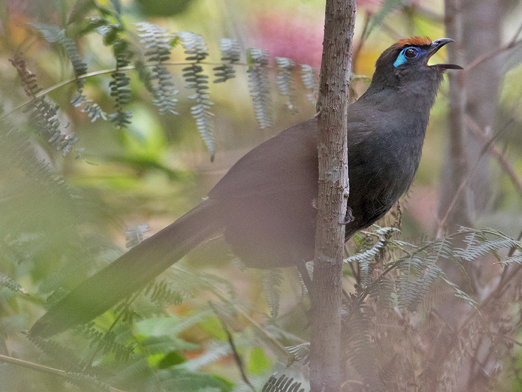 Red-fronted Coua - Sam Woods