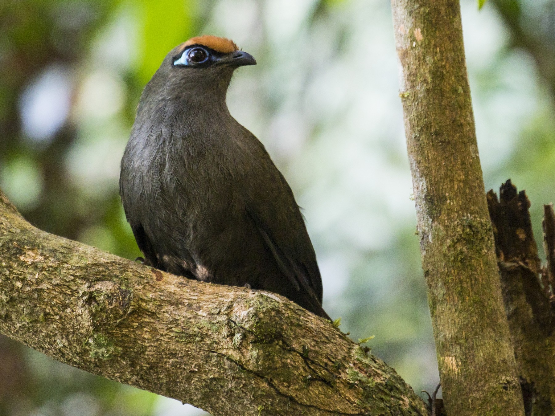 Red-fronted Coua - Simon Lane
