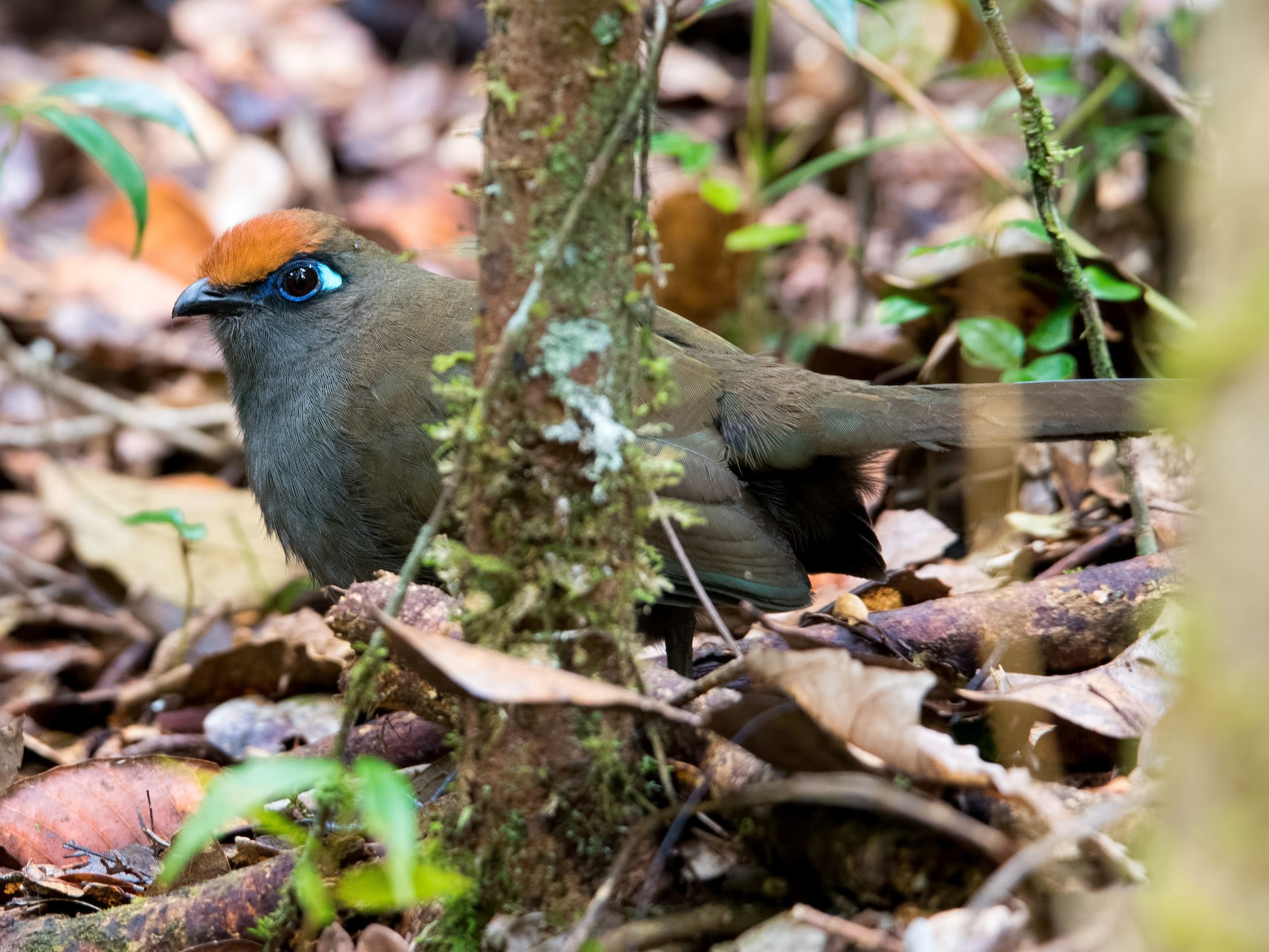 Red-fronted Coua - Shailesh Pinto