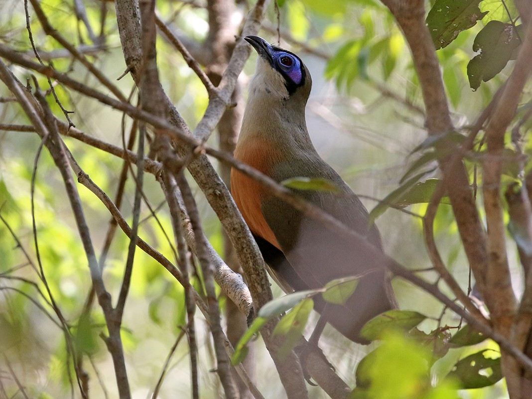 Coquerel's Coua - Charley Hesse