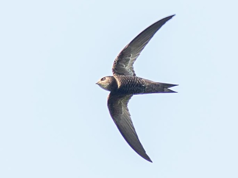 Madagascar Swift - Antero Topp