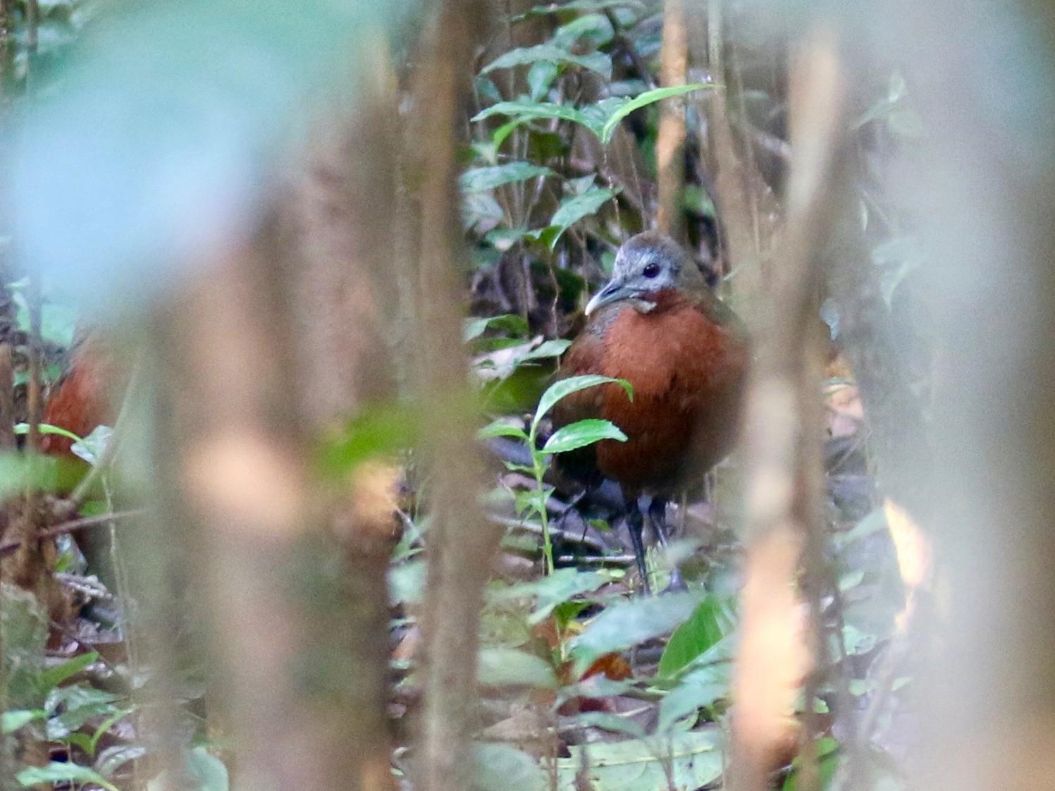 Madagascar Wood-Rail - Krista Oswald