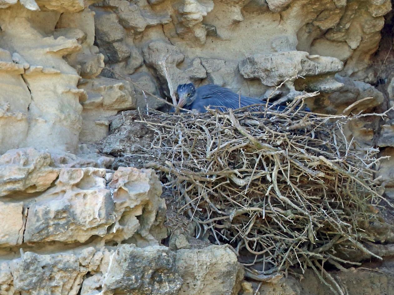 Humblot's Heron - Nigel Voaden