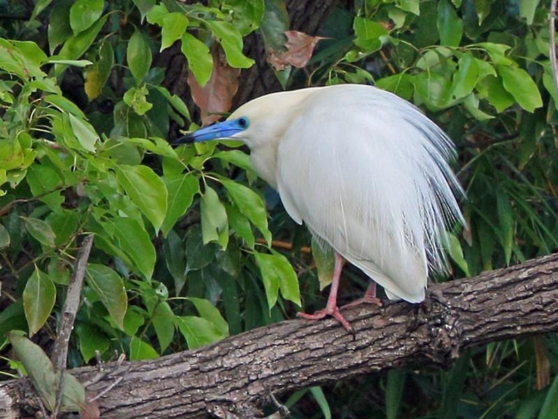 Malagasy Pond-Heron - Nigel Voaden