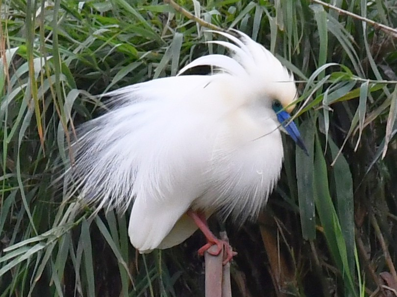 Malagasy Pond-Heron - Jacek Betleja